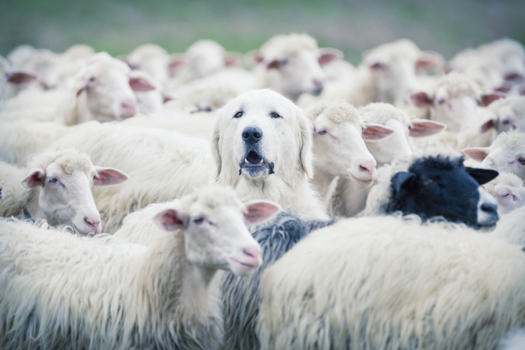 Dog in a herd of sheep